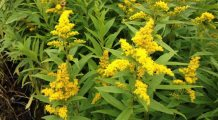 solidago-golden-rod-planting